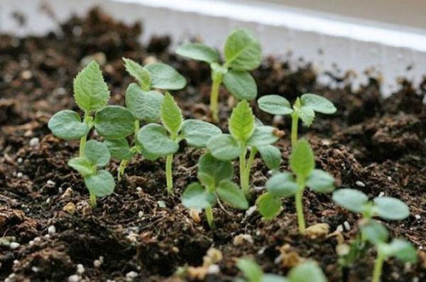 Как вырастить актинидию в Подмосковье