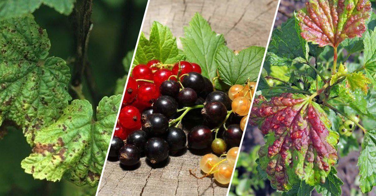 весенние болезни черной смородины