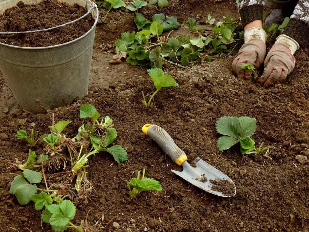 Как вырастить клубнику в открытом грунте