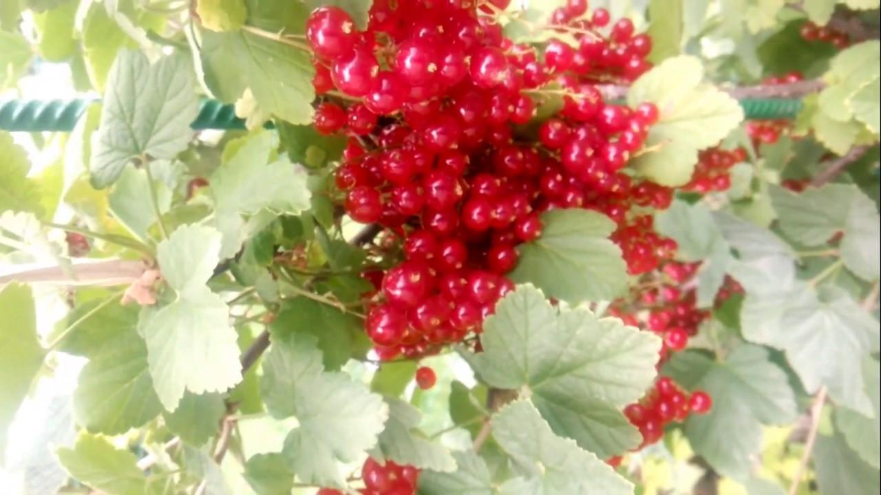 смородина красная обрезка и уход весной
