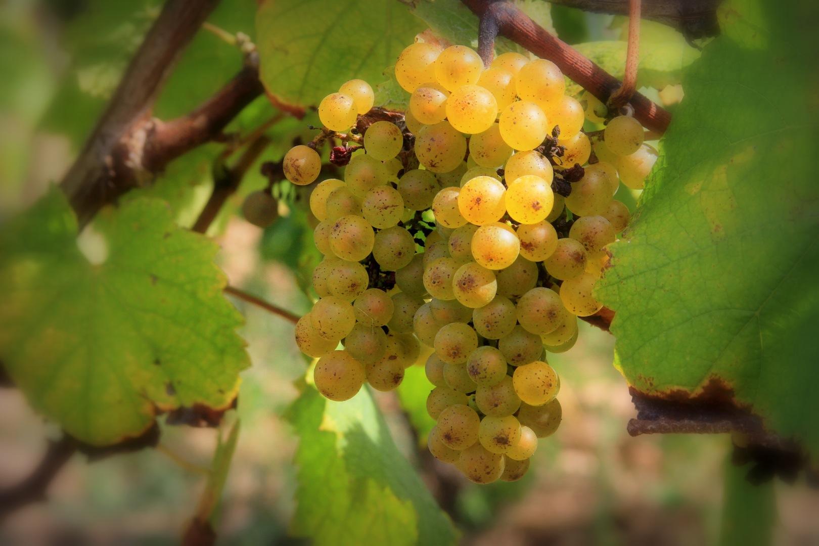 крымский виноград семильон