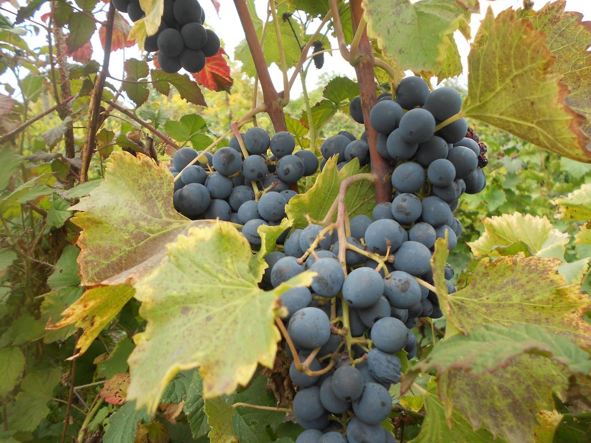 Виноград Кишмиш Молдавский - описание и фото сорта