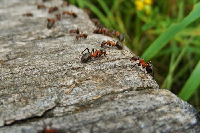 как избавиться от муравьев на клубнике