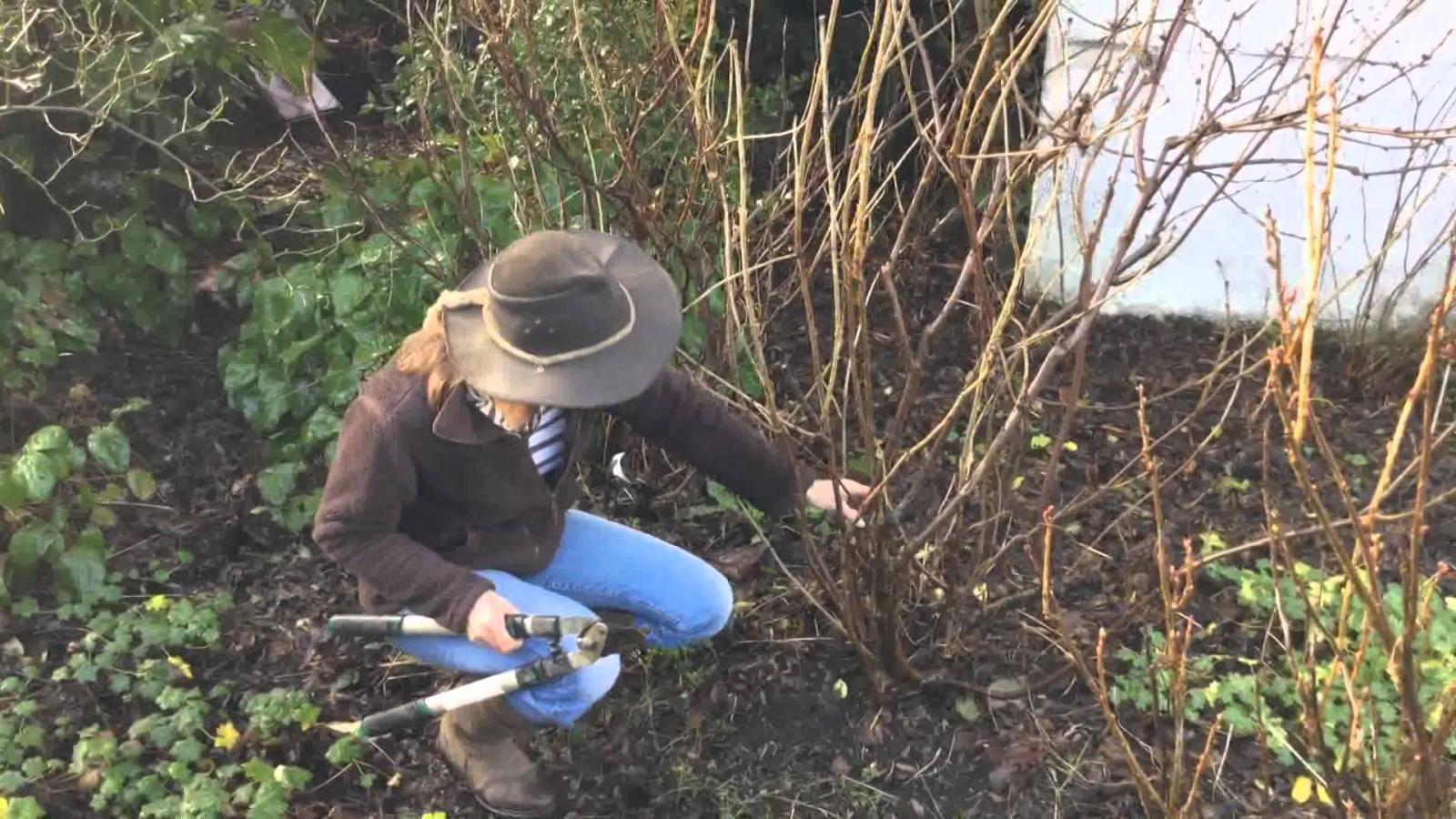 правильная обрезка красной смородины весной