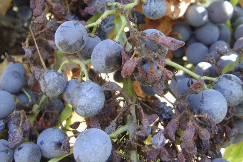 борьба с оидиумом на винограде