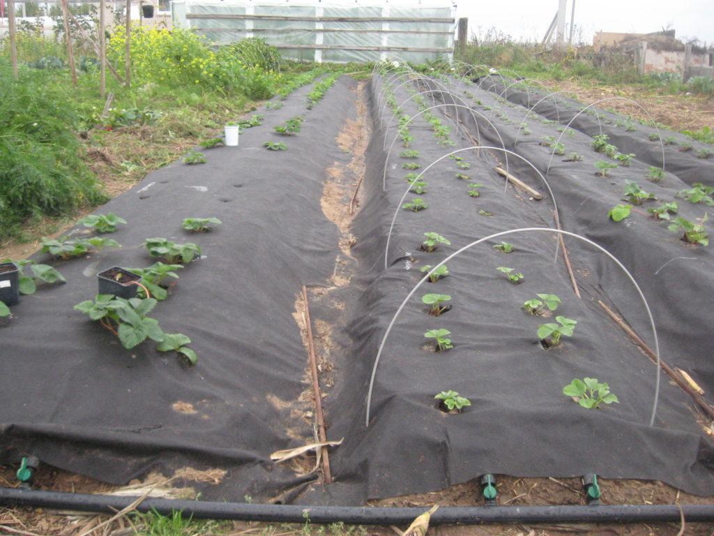Как вырастить клубнику под укрывным материалом