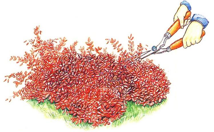 Выращивание барбариса