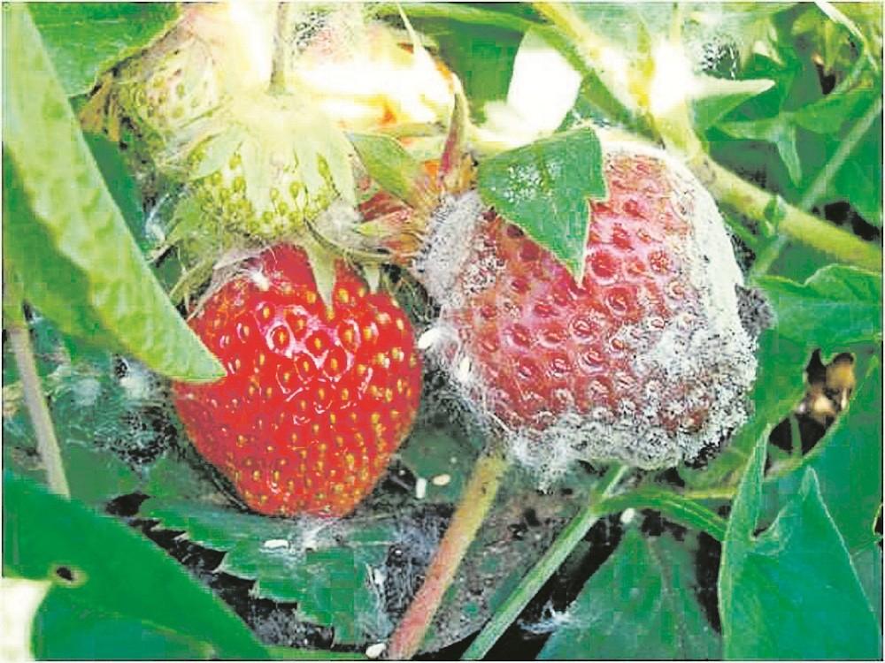 Весенняя обработка земляники от болезней и вредителей