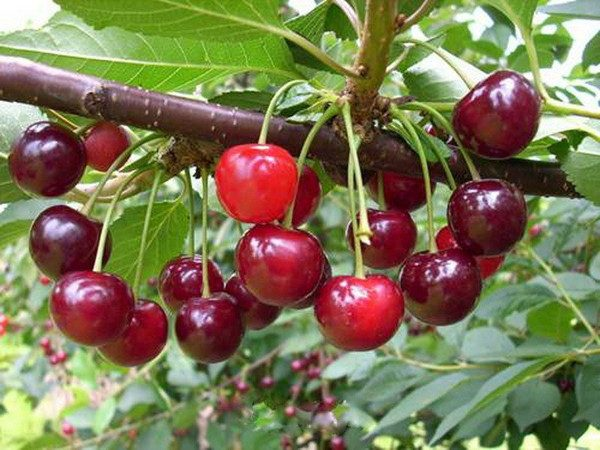 вишня малиновка фото