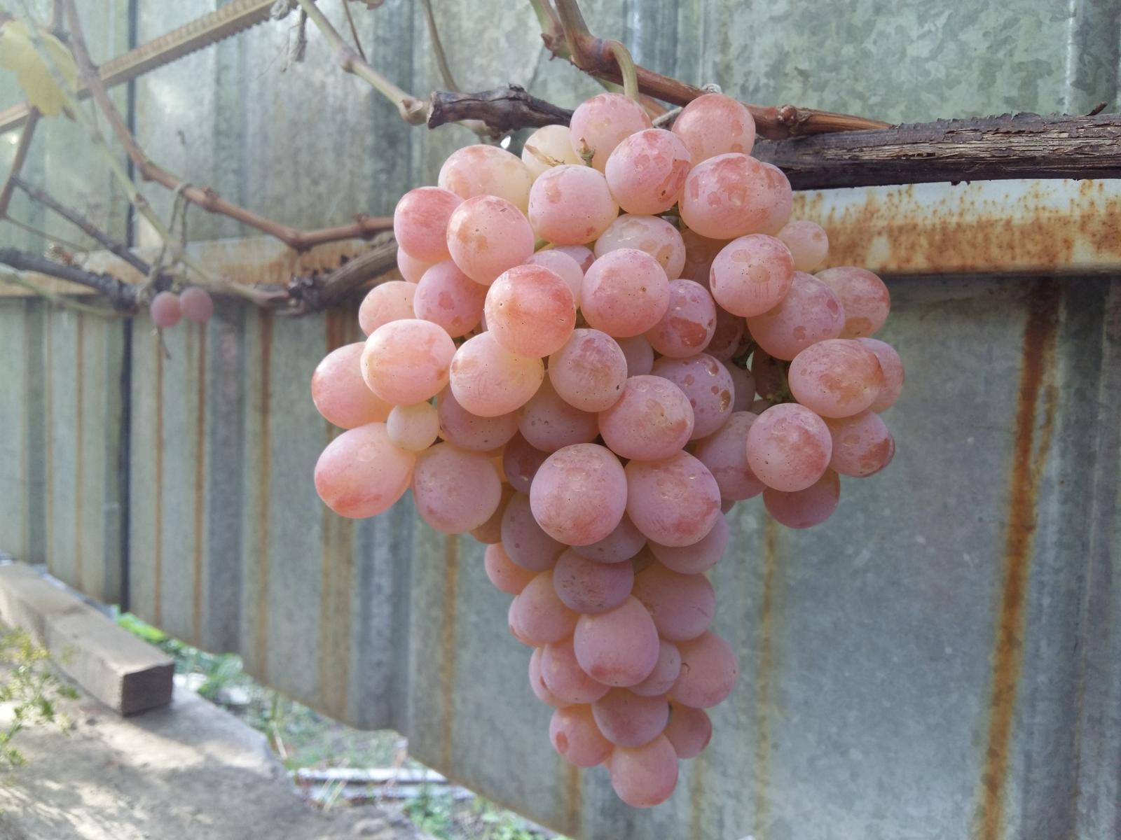 крымский виноград нимранг