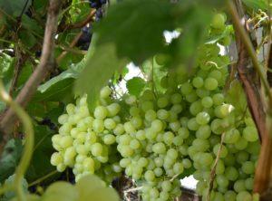 виноград краса севера посадка и уход