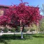 сорта декоративных яблонь