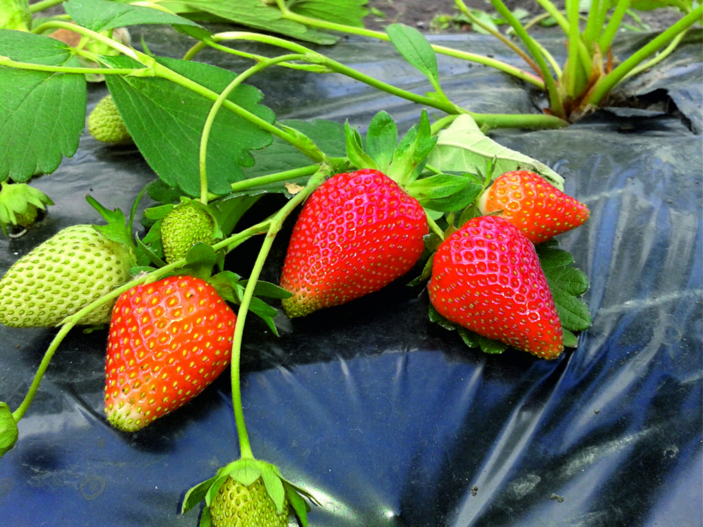 Как вырастить ампельную клубнику