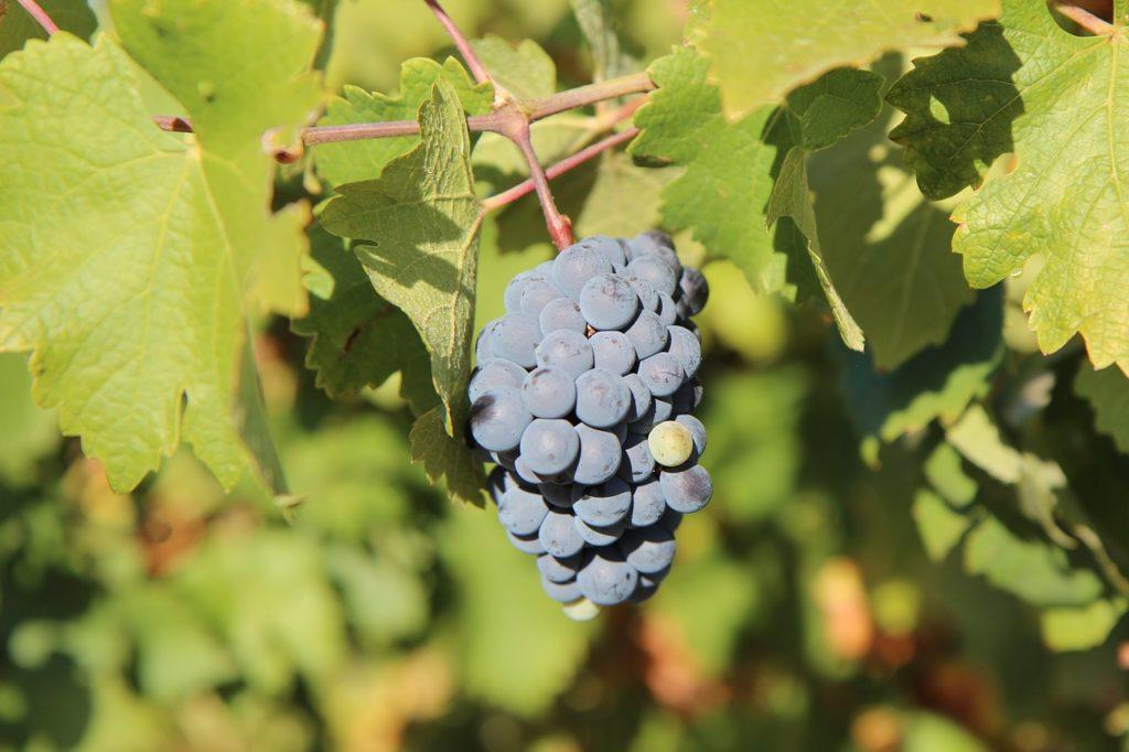 Виноград Мерло: описание и характеристика вина