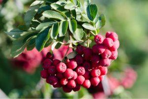Рябина: описание, сорта, выращивание