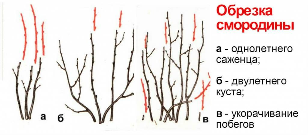 Различия красной и белой смородины