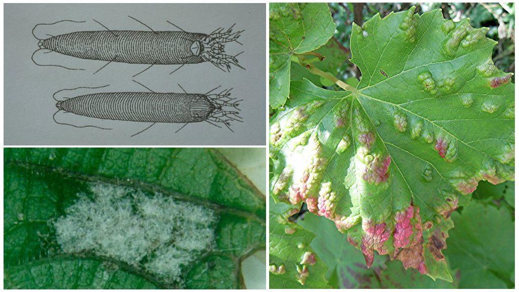 Защита винограда от болезней и вредителей