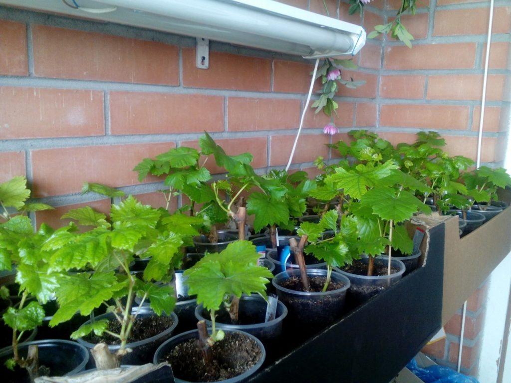 Как вырастить Девичий виноград на балконе