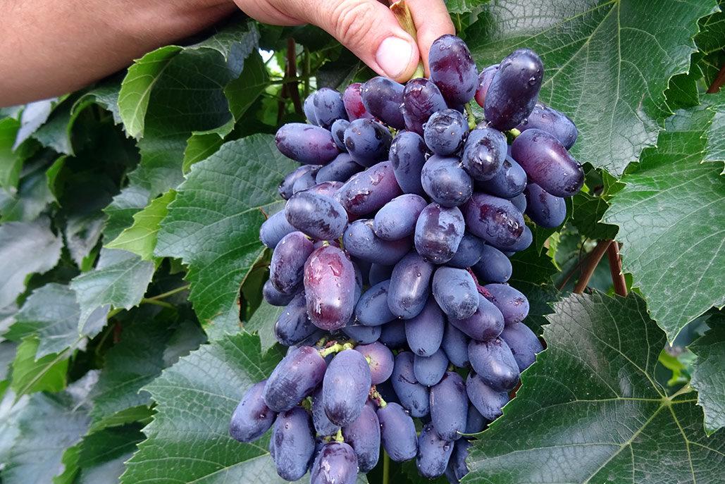 Сорта винограда в пензенской области фото