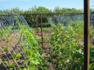 правильная подвязка винограда
