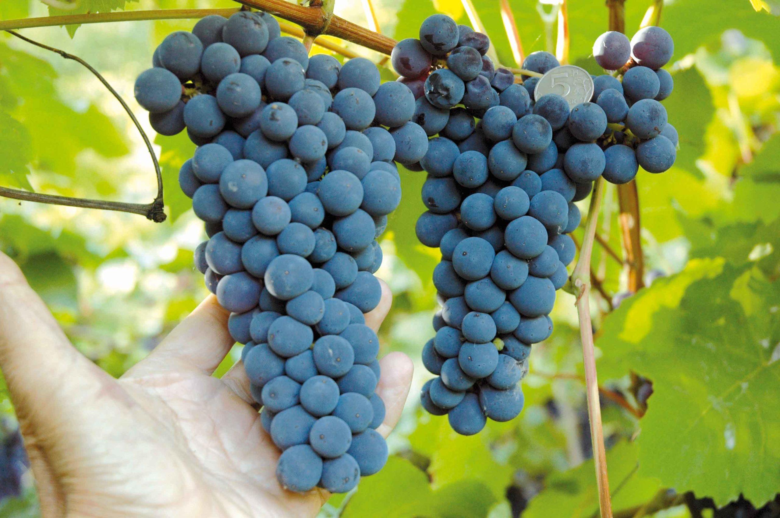 крымский виноград адиси