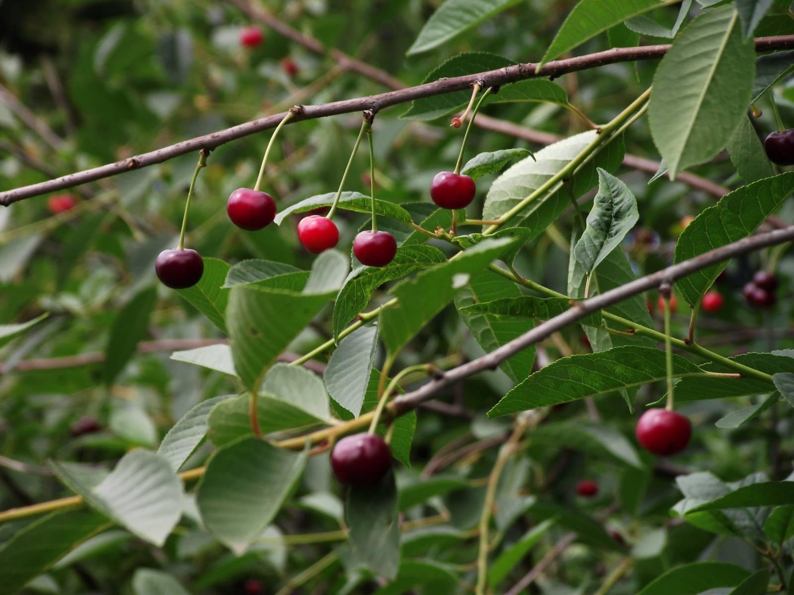 сорт вишни малиновка