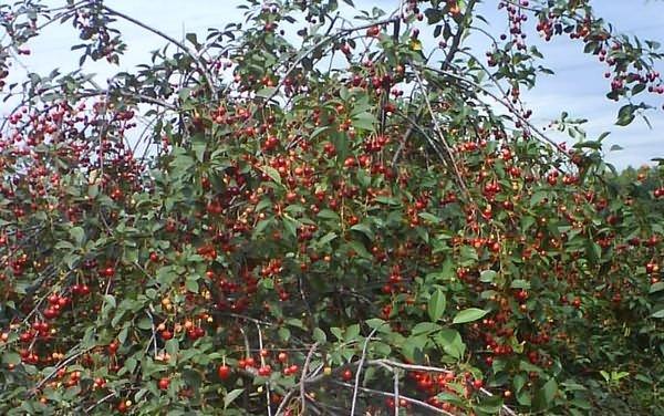 вишня малиновка описание