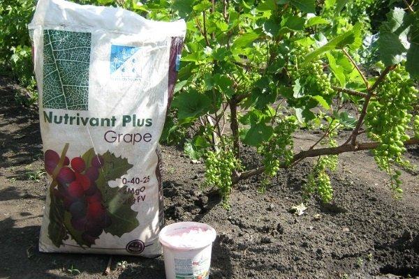 Как вырастить виноград из косточки