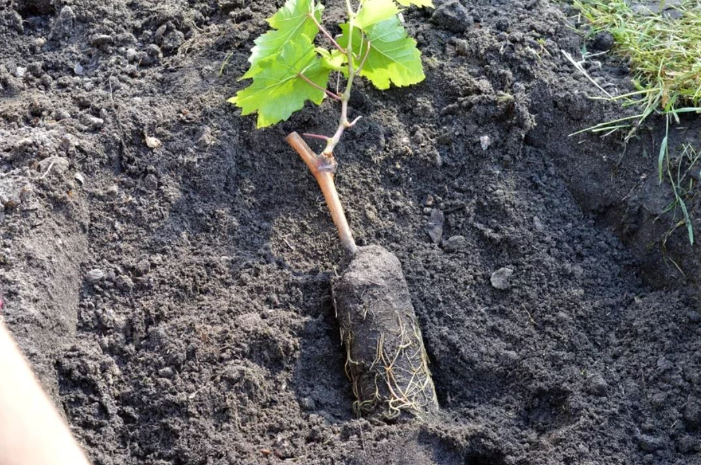 Виноград Левокумский