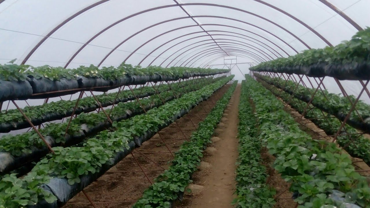 Голландская технология выращивания клубники