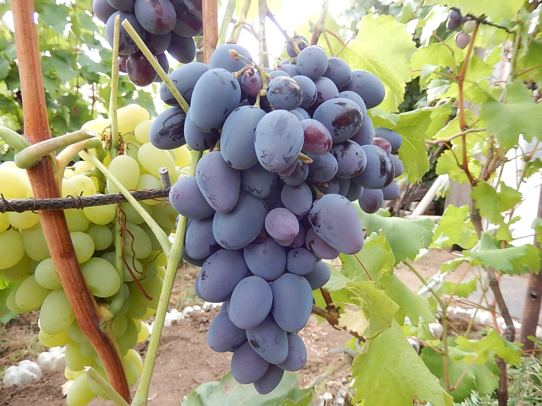 Сорти винограду в картинках