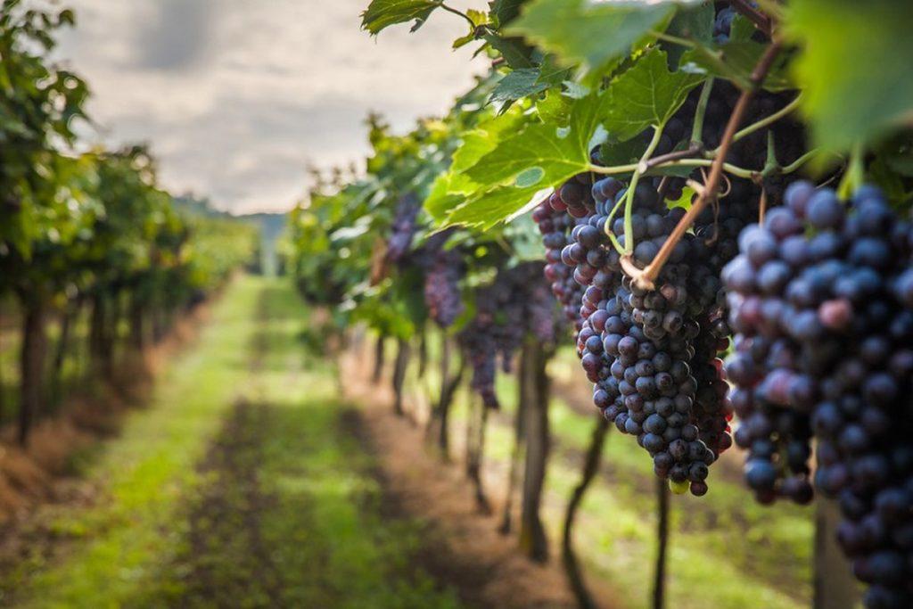 весеннее укрытие винограда от заморозков