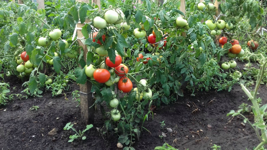 Как правильно производить подкормку помидор