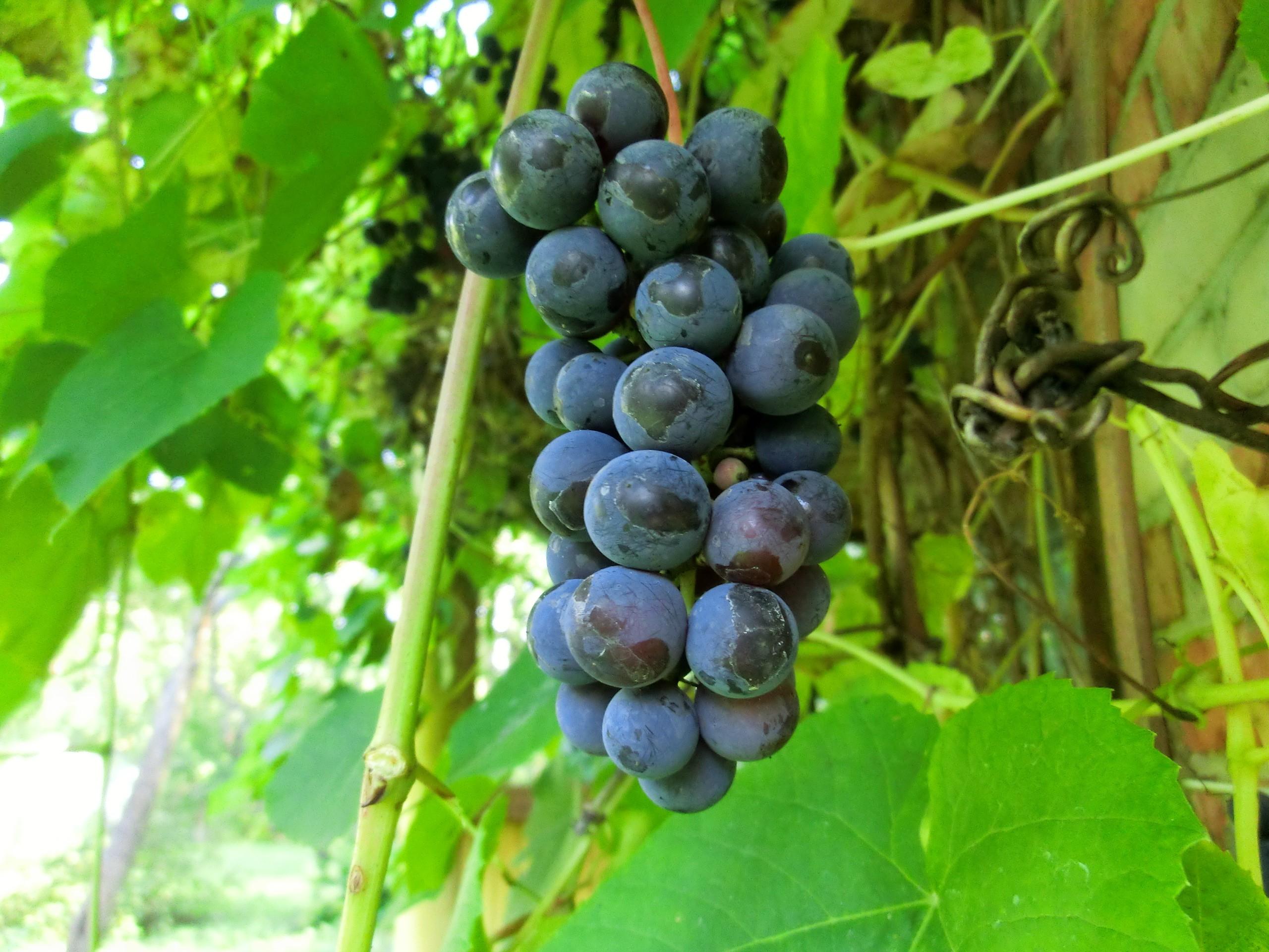 Сорта неукрывного винограда