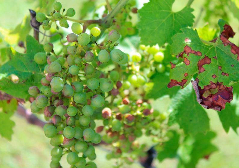 Болезнь винограда антракноз: лечение