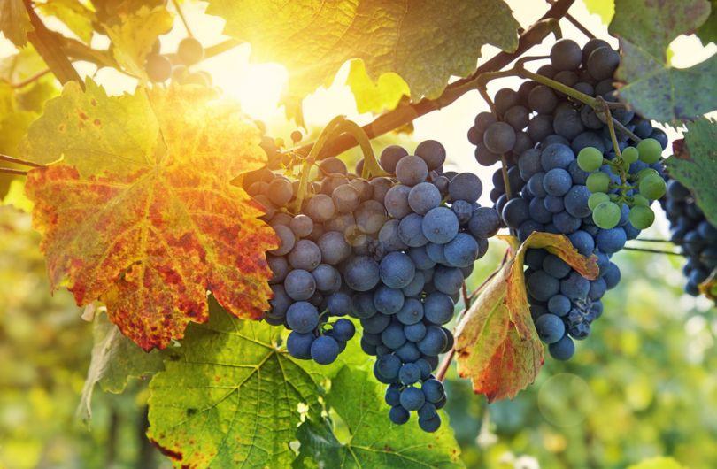 подготовка саженцев винограда к посадке весной