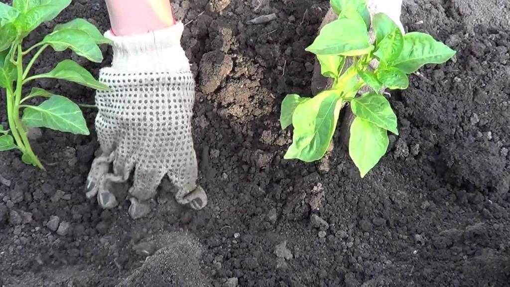 Баклажаны: выращивание и уход