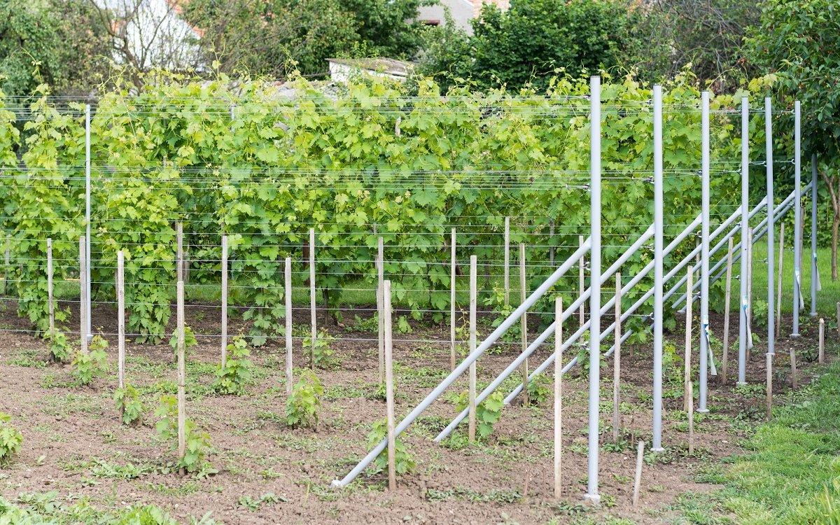 посадка саженцев винограда весной в грунт