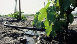 полив винограда летом