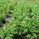 кусты картофеля на огороде