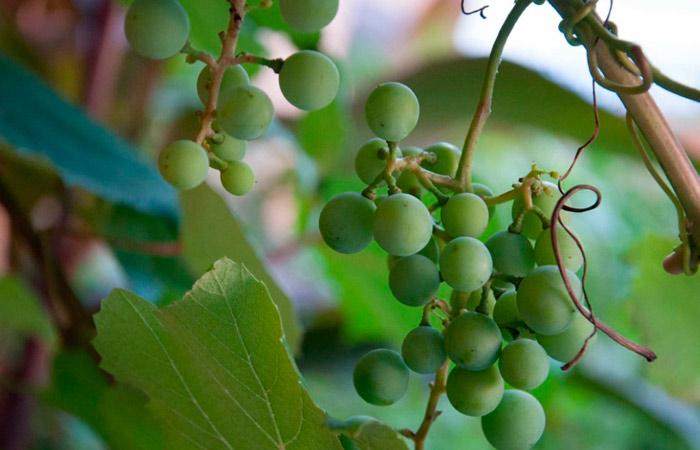посадка винограда весной саженцами в средней полосе