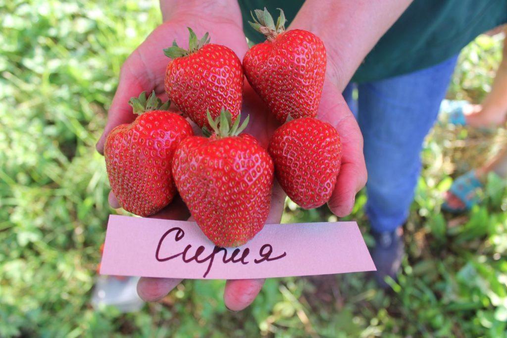 Клубника Сирия: описание сорта и выращивание