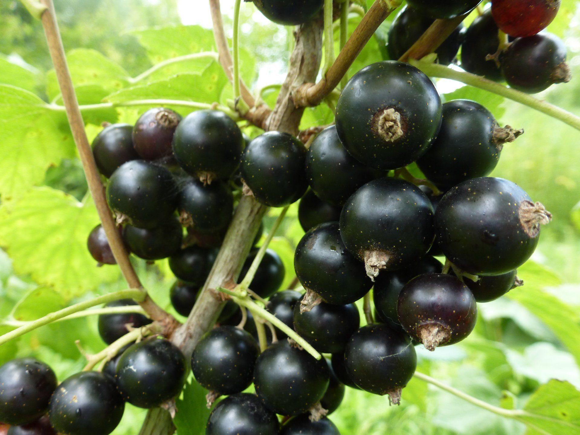 Сорта черной смородины для Подмосковья