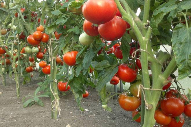 выращивание томатов в открытом грунте болезни