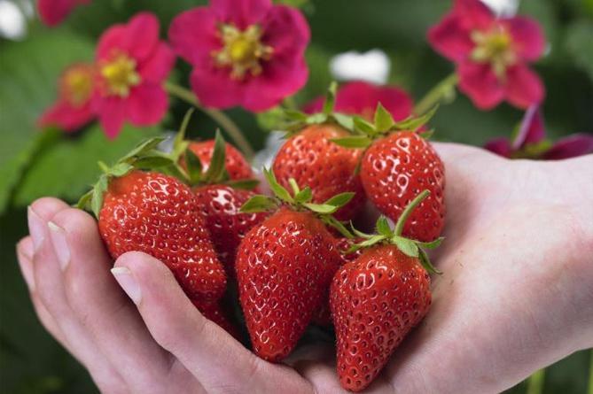 Клубника Тоскана: описание сорта, выращивание