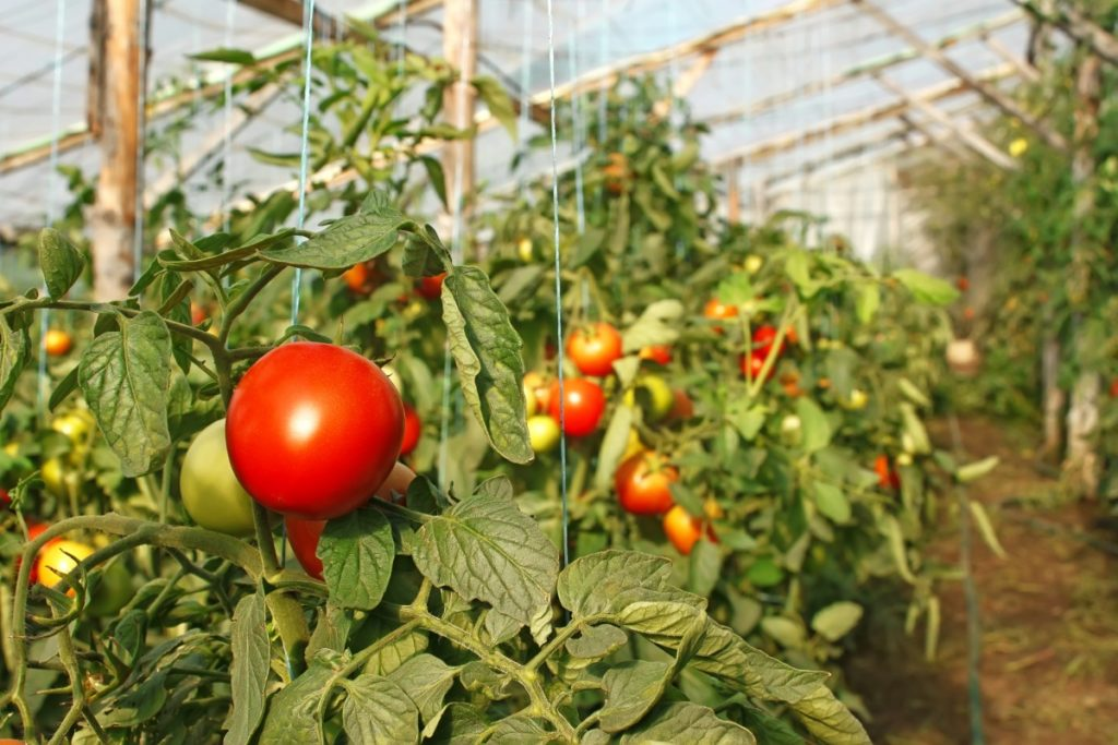 что любят томаты при выращивании в теплице