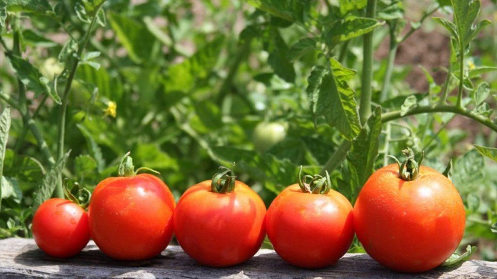 Что посадить рядом с томатами для хорошего урожая