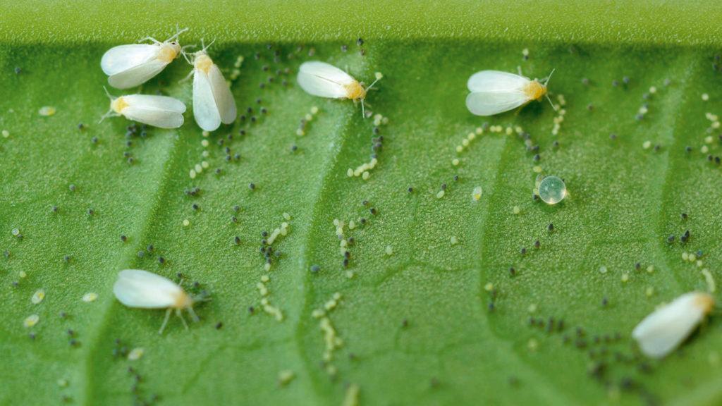Болезни и вредители огурцов: чем обработать