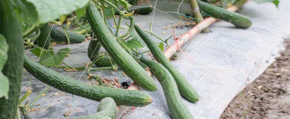 Китайский огурец: сорта и особенности выращивания