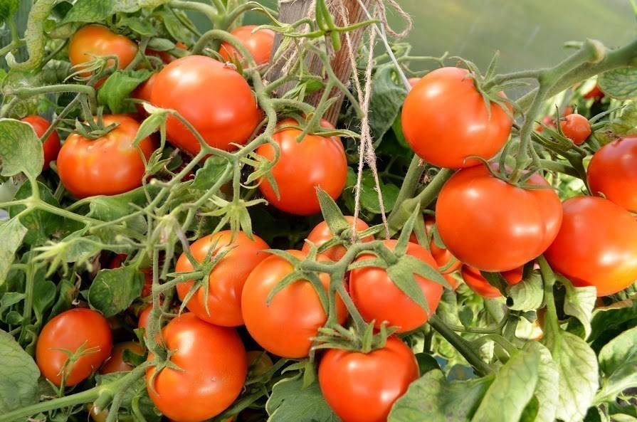 Ранние сорта томатов для открытого грунта и теплицы